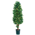Rental store for TREE FICUS CONE SHAPE 5 to 6  TALL in Ft. Wayne IN