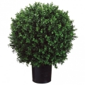 Rental store for BALL - 24  PODOCARPUS in Ft. Wayne IN